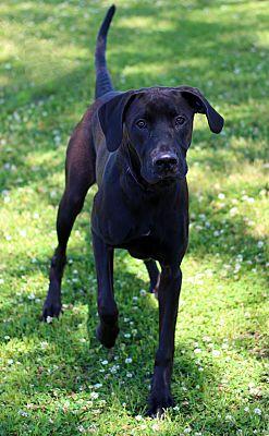 Wilmington, NC - Great Dane  Meet A376050 a Pet for Adoption