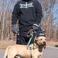 Adopt A Pet :: Duke the Lab - Midlothian, VA