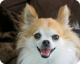 High Point Nc Chihuahua Meet Prince A Pet For Adoption