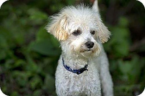 Edmonton Ab Miniature Poodle Meet Mateo A Pet For Adoption