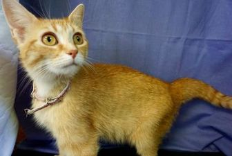 Domestic Shorthair/Domestic Shorthair Mix Cat for adoption in Salem, Ohio - Alice