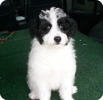 Sheltie Poodle Mix Puppies For