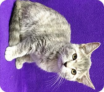 Domestic Shorthair Kitten for adoption in Watauga, Texas - Fairy
