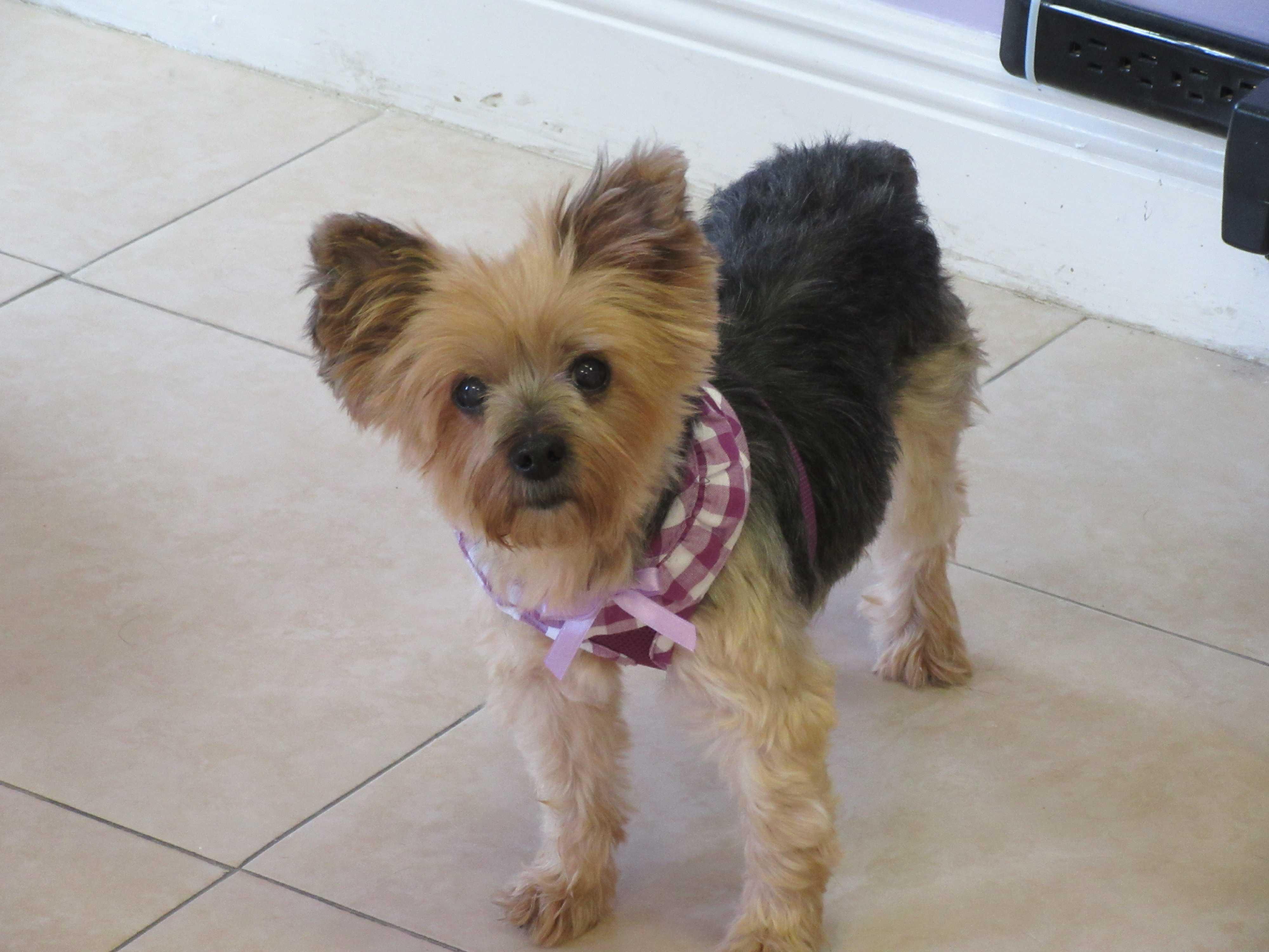 Birmingham, AL - Yorkie, Yorkshire Terrier  Meet Sweet Pea a