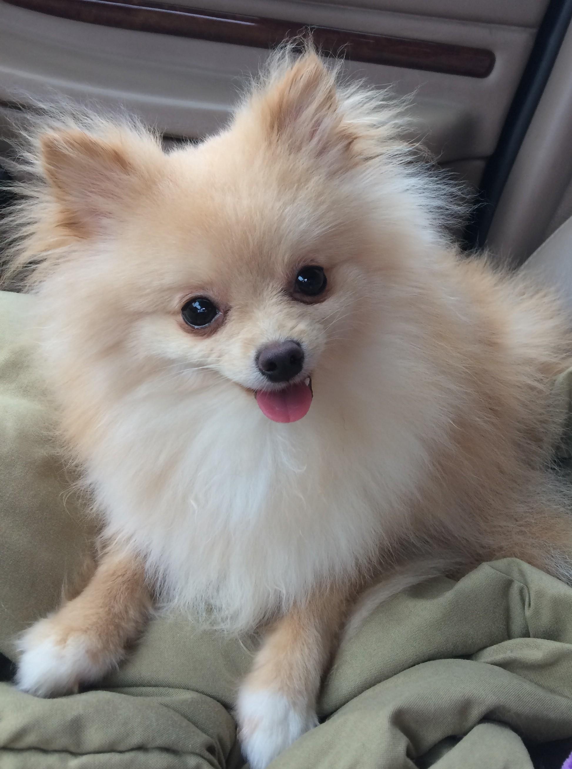 Nashville Tn Pomeranian Meet Elle A Pet For Adoption
