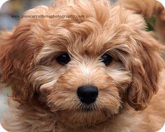 Westport, CT - Goldendoodle  Meet *Olivia - PENDING a Pet