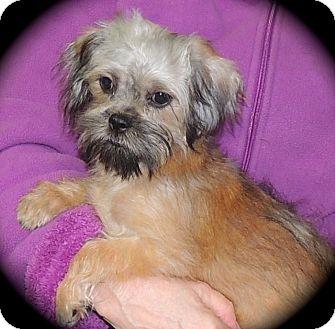 Joplin Mo Shih Tzu Meet Dinky A Pet For Adoption