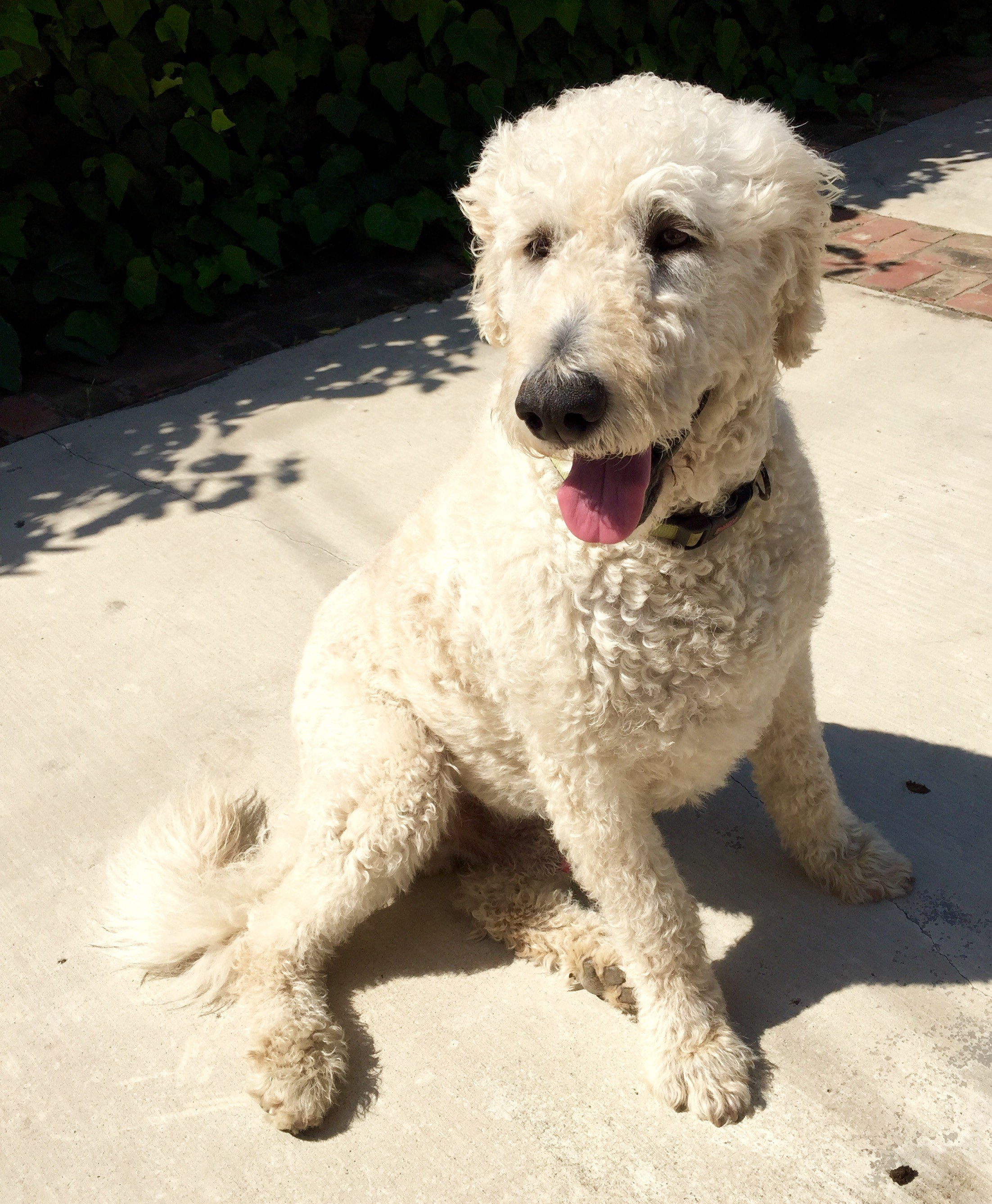 Fantastic Wirehaired Dachshund For Adoption Ca Elaboration - Simple ...