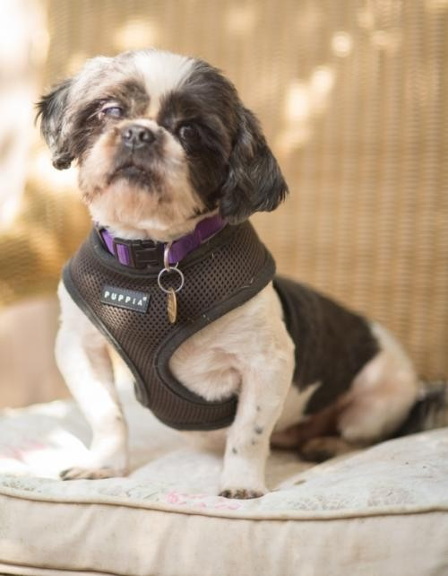 Tallahassee Fl Shih Tzu Meet Dustin A Dog For Adoption
