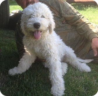 Greensburg Pa Komondor Meet 5 Pups A Pet For Adoption