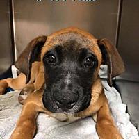 Boxer Puppies for Sale in Valdosta Georgia - Adoptapet com
