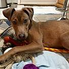 Adopt A Pet :: Izzy Alabama
