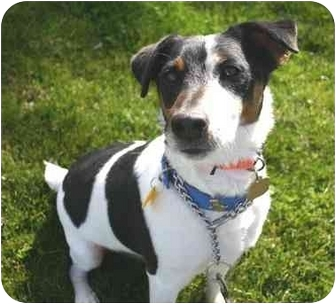 Jack Russell Terrier Mix Dog for adoption in Auburn, California - Cooper