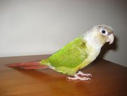 Neenah, WI - Conure  Meet Pixie a Pet for Adoption