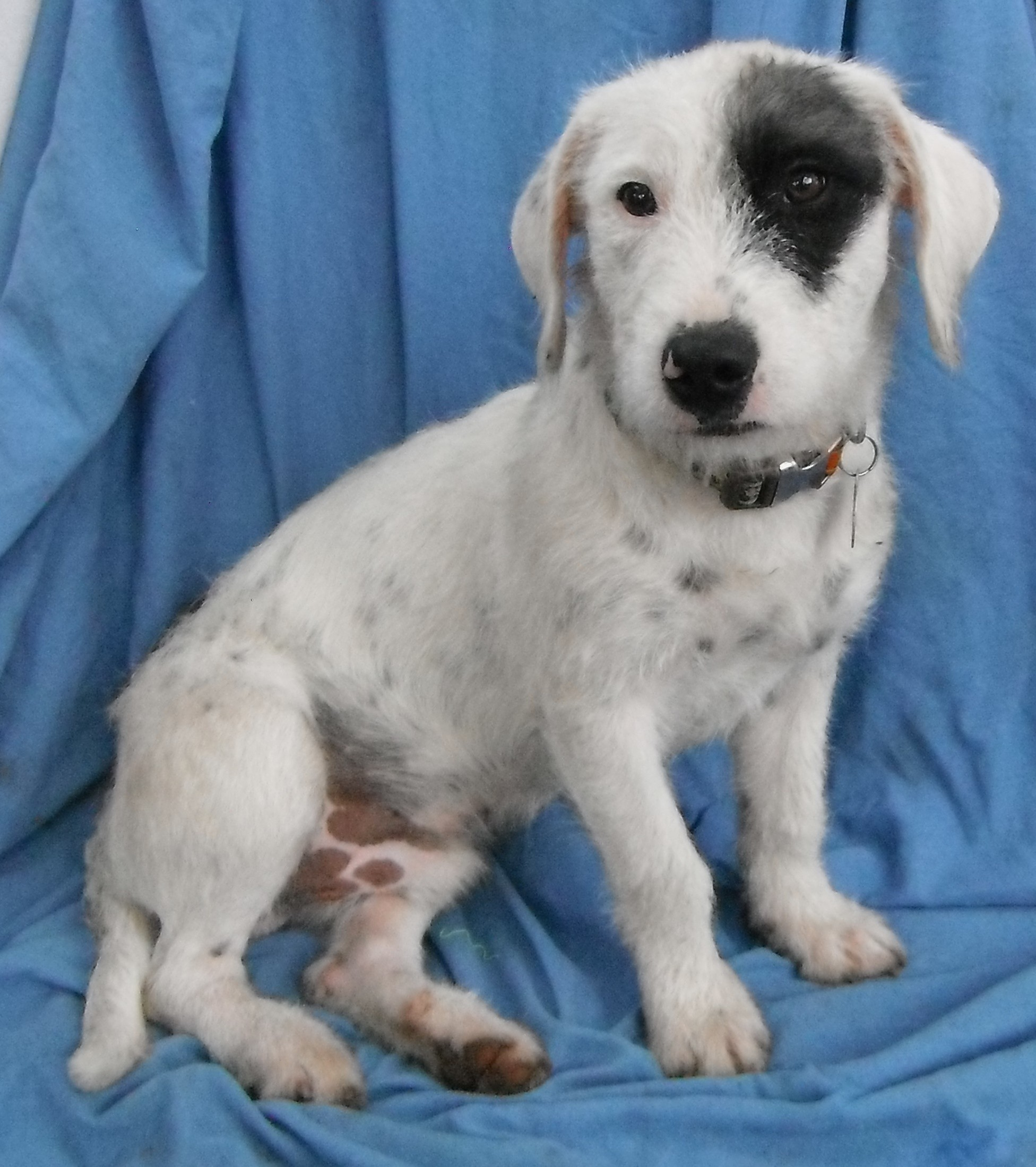 Columbus, OH - Wirehaired Fox Terrier. Meet Benji in TEXAS a Dog for ...