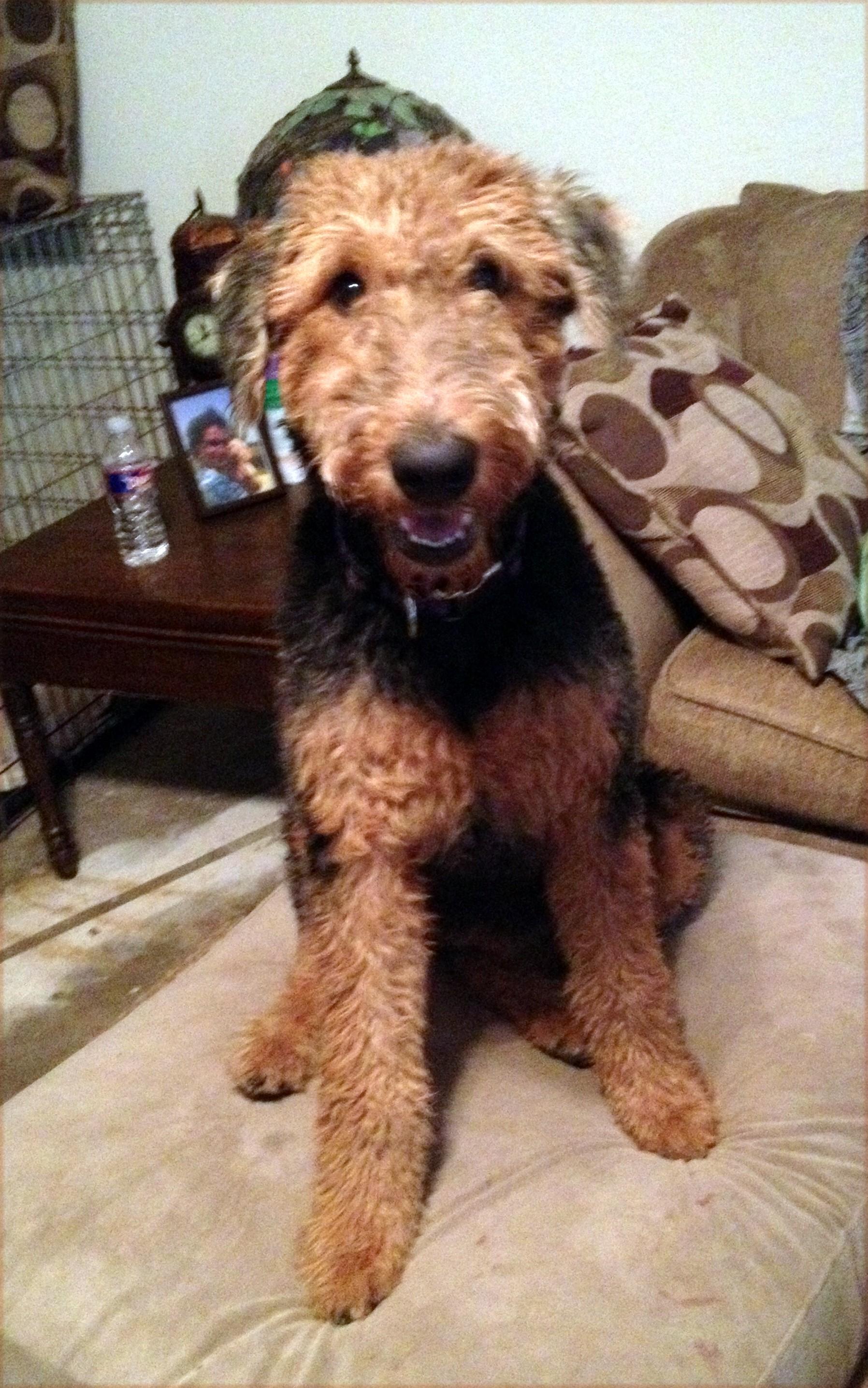 Austin, TX - Airedale Terrier  Meet Ginger a Pet for Adoption