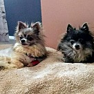 Adopt A Pet :: Blue & Cocoa *Bonded Pair*