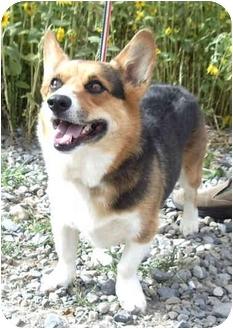 Corgi Dog for adoption in Provo, Utah - JAMIE