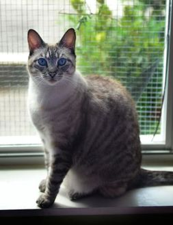Siamese/Domestic Shorthair Mix Cat for adoption in Baton Rouge, Louisiana - Missy