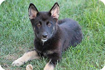 Grand Rapids Mi German Shepherd Dog Meet Danni A Pet For Adoption