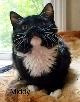 Adopt A Pet :: SMITTY  - Northwood, NH