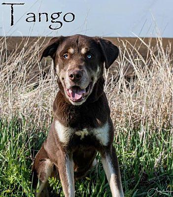 Bloomington, IL - Husky  Meet Tango a Pet for Adoption