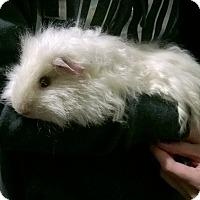 Adopt A Pet :: Pippin - Spokane Valley, WA
