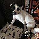 Adopt A Pet :: Spot Litter: Paco