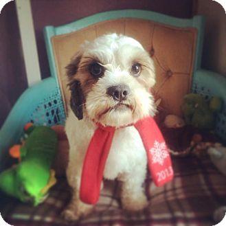 Seattle, WA - Shih Tzu  Meet Nacshon a Pet for Adoption