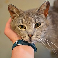 Domestic Shorthair Cat for adoption in Grinnell, Iowa - Andre