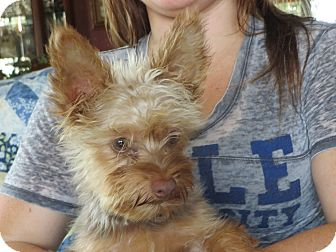Harrisburg Pa Yorkie Yorkshire Terrier Meet Rascal A Pet For