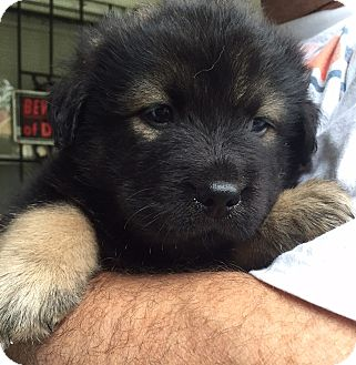 German Shepherd Dog Mix Puppy for adoption in Memphis, Tennessee - HARRY