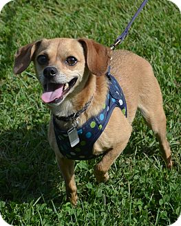 Mentor Oh Chihuahua Meet Cisco Kid A Pet For Adoption