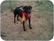 Labrador Retriever/Terrier (Unknown Type, Medium) Mix Dog for adoption in East Hampton, New York - Mama
