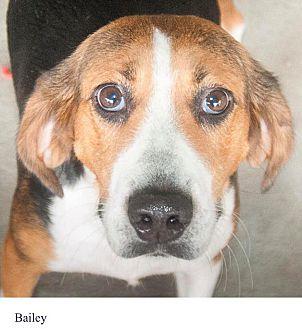 Adopt A Pet :: Bailey  - Windsor, NC