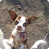 Adopt A Pet :: Brownie - West Hills, CA