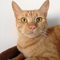 Domestic Shorthair Cat for adoption in Alamogordo, New Mexico - Rusty