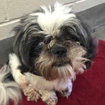 Huntingdon Valley Pa Shih Tzu Meet Cedric A Dog For Adoption