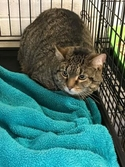Adopt a Pet :: Tiger - Anderson, IN -  Domestic Shorthair/Domestic Shorthair Mix