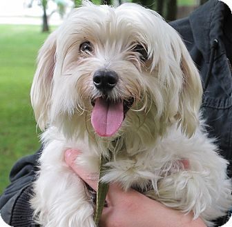 Rochester Ny Maltese Meet Olaf A Pet For Adoption