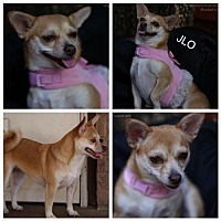 Chihuahua Mix Dog for adoption in Fort Worth, Texas - JLO
