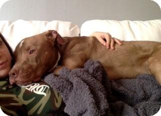 Montreal, QC - Staffordshire Bull Terrier  Meet McCoy a Pet