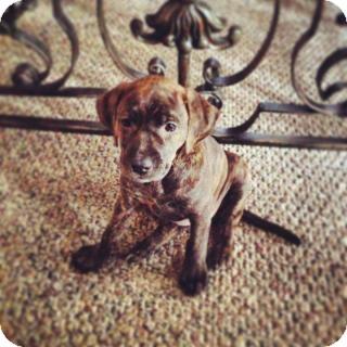 richmond, VA - Plott Hound  Meet puppies at hanover shelter