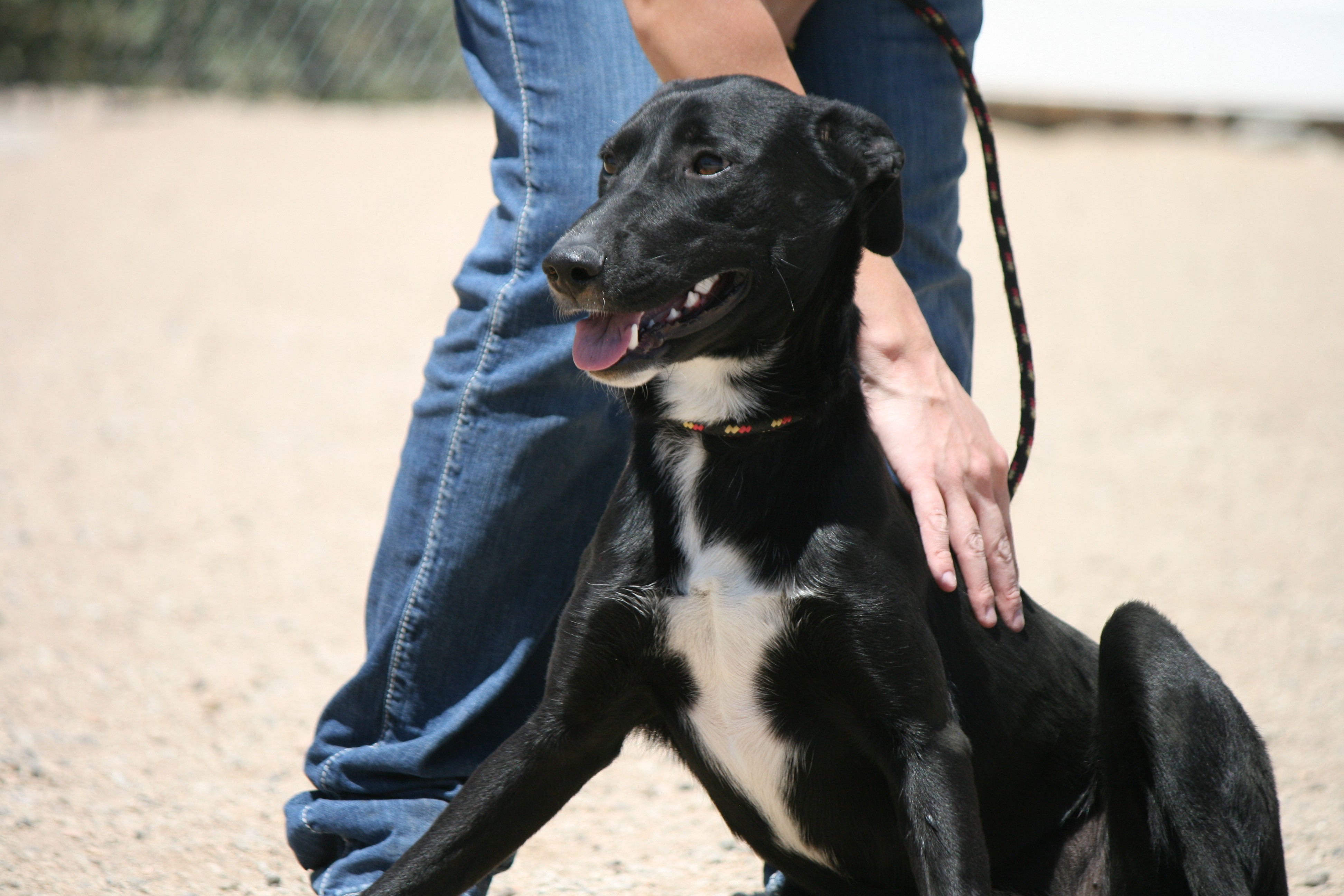 Husky puppies for sale yucca valley - Yucca Valley Ca Labrador Retriever Meet Alice Mae Heart A Dog For Adoption