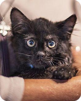 Domestic Mediumhair Kitten for adoption in St Helena, California - Rocco