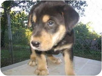 Piedmont Mo Labrador Retriever Meet Bruno A Pet For Adoption
