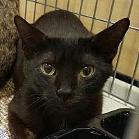 Adopt A Pet :: Chilli - Lyons, IL