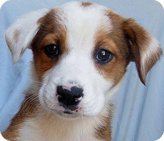 Mooresville Nc Australian Shepherd Meet Velma A Pet For Adoption