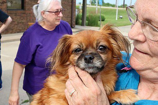 Champaign, IL - Pomeranian  Meet HoneyBee a Pet for Adoption