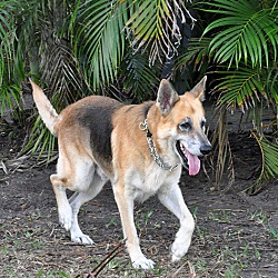 Southwest Florida German Shepherd Rescue In Punta Gorda Florida